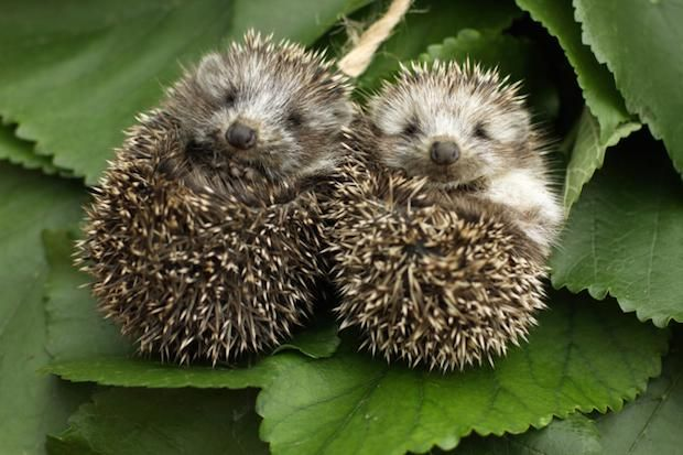 16 Fun Facts About Hedgehogs | Mental Floss  `an array of jawns
