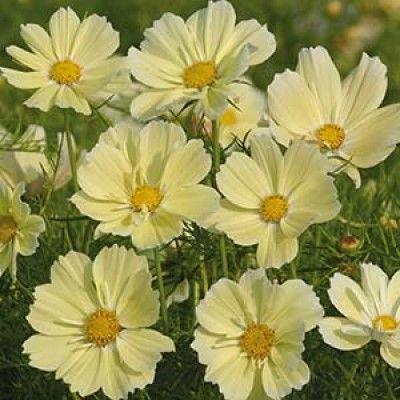 Nelson Garden Rosenskära-Xanthos