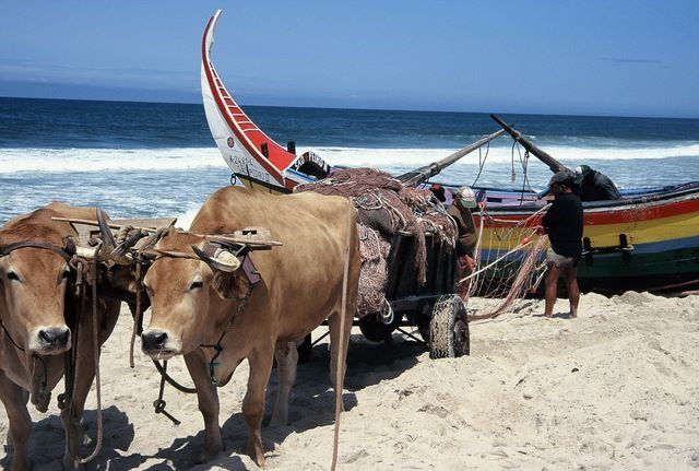 Mira. Portugal bulls pulling the small fishing boats out of the sea