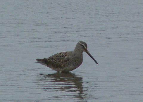 Long-billed Dowitcher: a poor lost soul | Nature Notes