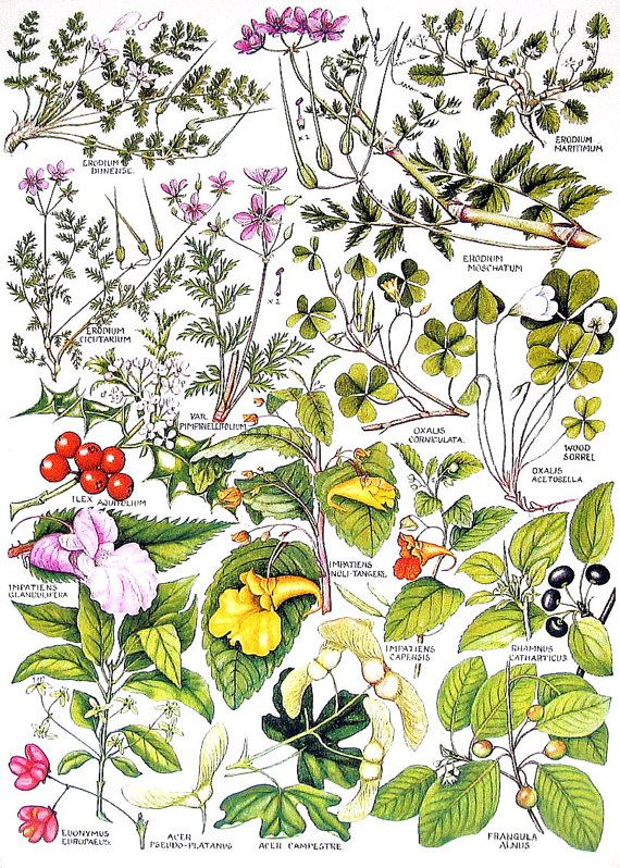 1965 Botanical Print  Impatiens Wood Sorrel  by mysunshinevintage, $10.00