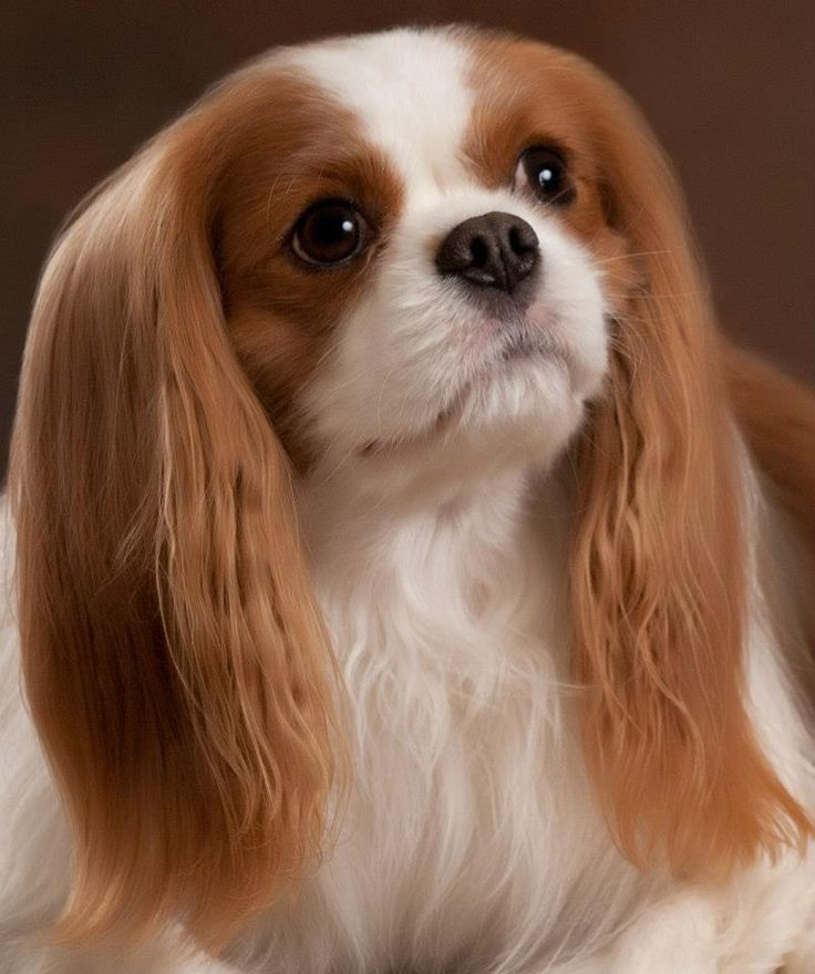 Download Charles Spaniel Brown Adorable Dog - 4bb75fb179a67820d8cf2c53122e6c61--hubby-love-king-charles-spaniels  Best Photo Reference_431462  .jpg