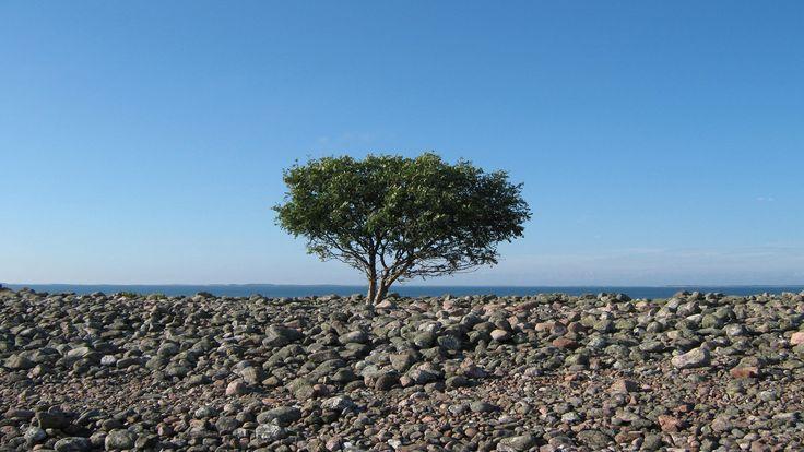 Puu Jurmossa. Kuva: Sanna Sutela/Yle