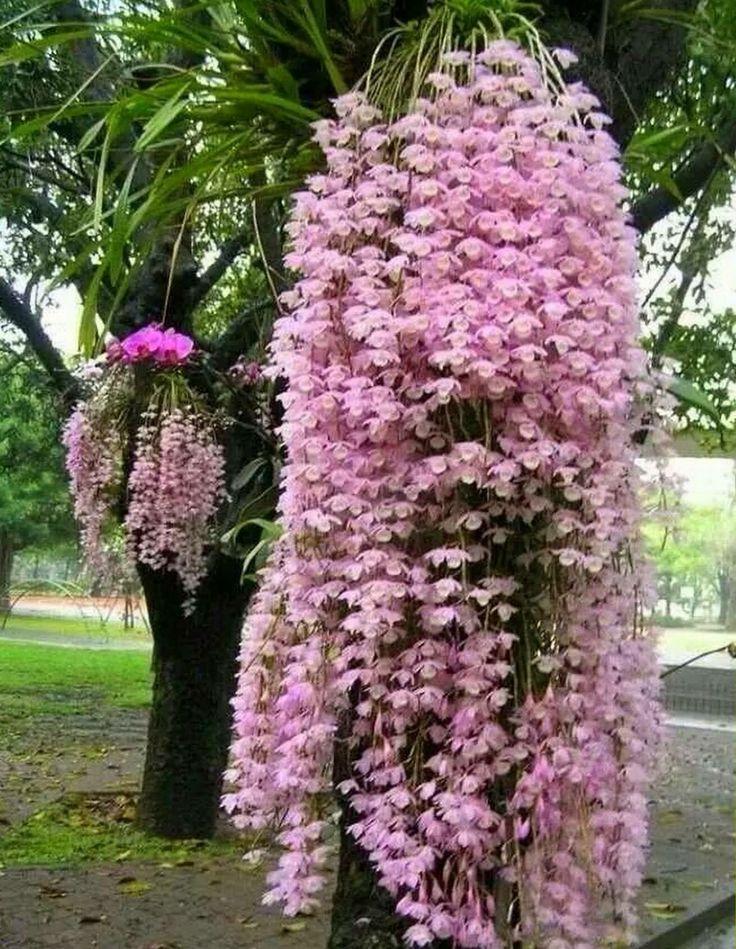 Orchid - dendobrium nobile