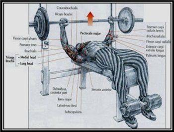 Göğüs Kaslarını Geliştirme Hareketleri   En Etkili 11 Egzersiz      Vücut Geliştirme Hareketleri   Zayıflama Egzersizleri   Fitness Hareketleri