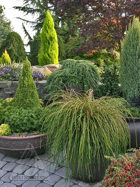 Amazing Dwarf And Miniature Conifers, In High Quality Pots, Create An  Inviting Space On