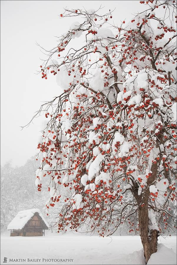 """500px / Photo """"Winter Persimmon Tree"""" by Martin Bailey"""