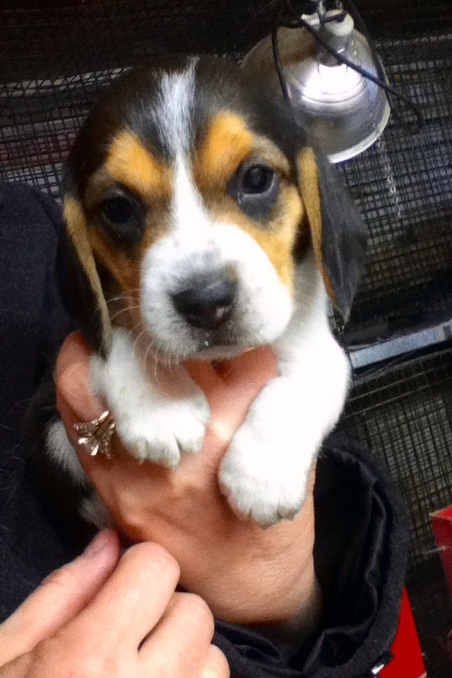 Pocket beagle puppy ❤