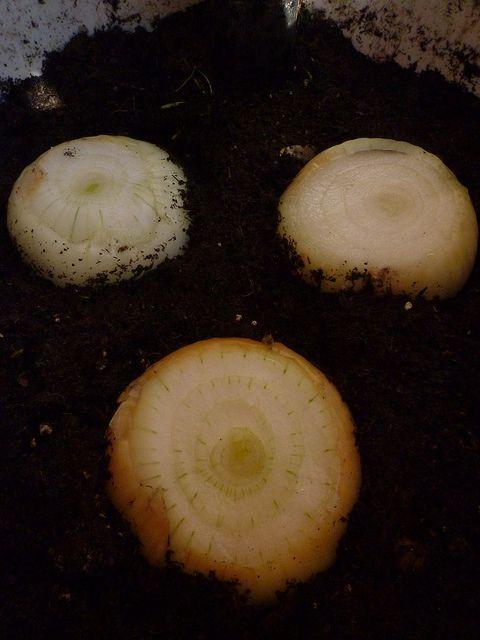 Forma de sembrar cebollas y cebolletas a partir de las que tengamos en casa (ya brotadas o sin brotar).
