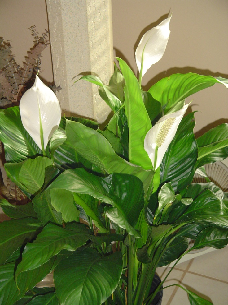 Peace Lilly For The Beginner Gardener This Is A Great 400 x 300
