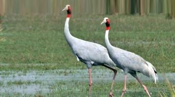 Crane population in UP rises by nearly 1,000 Read complete story click here http://www.thehansindia.com/posts/index/2015-08-22/Crane-population-in-UP-rises-by-nearly-1000-171951