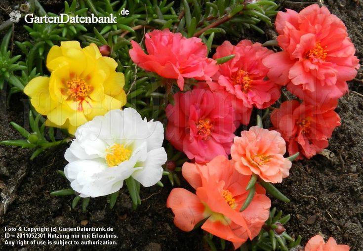 Portulakröschen Portulaca grandiflora Leuchtende Blüten formen ein buntes Herz.