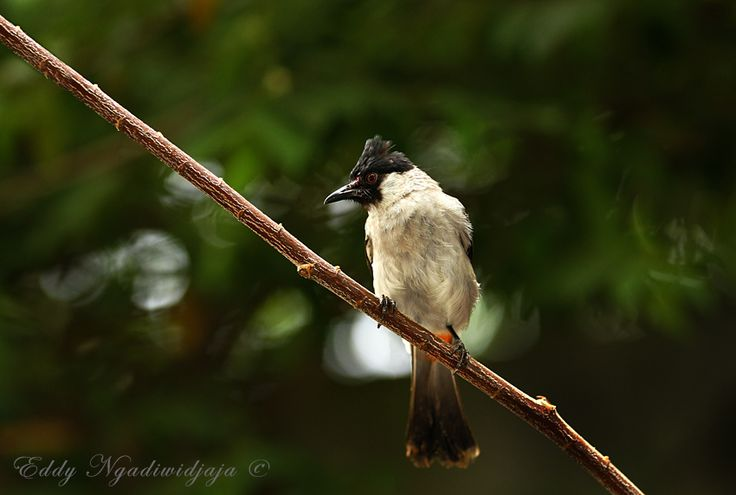 Kutilang or The Sooty-headed Bulbul (Pycnonotus aurigaster) is a species of songbird.  It is found in Cambodia, China, Hong Kong, Indonesia, Laos, Burma, Thailand, and Vietnam.