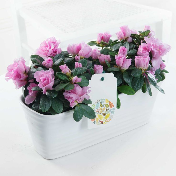 Pretty Pink Azalea: Bring a splash of colour into their home with this beautiful gift. Two bi-pink azalea plants are presented perfectly in a white, ceramic planter with ridged detailing.