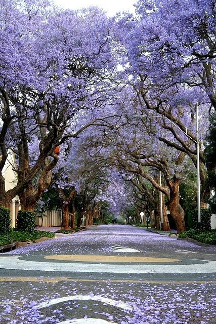 Jacaranda in full bloom, Spring in Johannesburg, South Africa.  For visit, hire a car from : www.carrentaljohannesburgairport.com