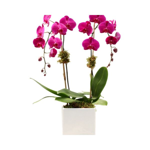Pink Phalaenopsis Orchid Arrangement