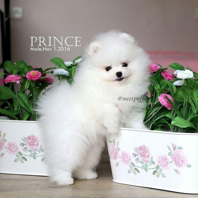 Buy & Sell POMERANIAN puppies online https//www