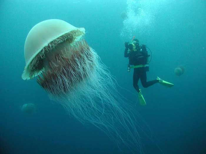 The Lions Mane Jellyfish is the largest jellyfish in the world. They have been swimming in arctic waters since before the dinosaurs (over 650 million years ago) and are among some of the oldest surviving species in the world.The bell can grow up to 8 feet in diameter with hundreds of tentacles up to 120 feet long. Remarkably, only 6% of the jellyfish is solid matter; the rest is water.