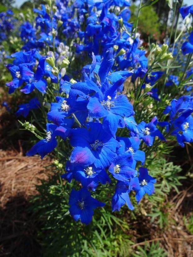 Diamonds Blue Delphinium A Louisiana Super Plant Adds A