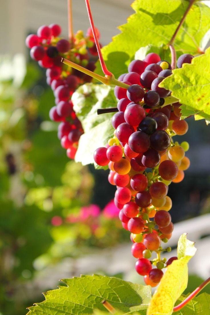 Fabulous Chasingrainbowsforever Colorful Beautiful Fruits Fruits Photos Grape Vineyard