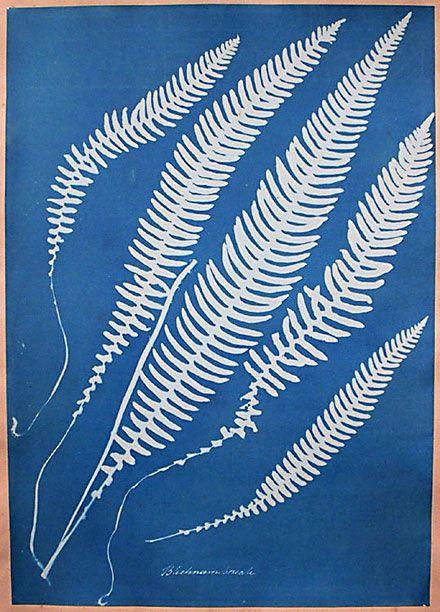 Cyanotype by Anna Atkins (?)