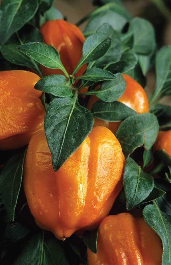 28 best images about chili pepper garden on pinterest - Best romanian pepper cultivars ...