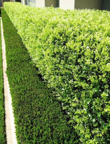 Murraya Paniculata Hedge Behind Picket Fence And Buxus At