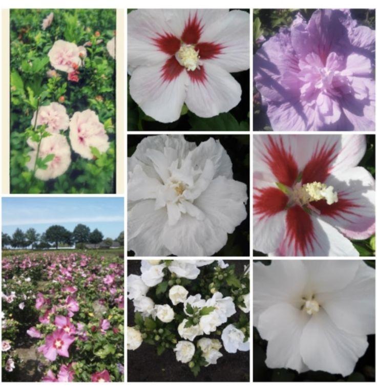 Hibiscus syriacus. Favourite Plant of Boomkwekerij H. den Dunnen.  Hibiscus syriacus ( Althaeastruik) is een rijk bloeiende sierheester die in verschillende kleuren en bloemvormen verkrijgbaar is en uw tuin in de zomermaanden behoorlijk wat kleur geeft. Hibiscus syriacus is a rich flowering ornamental shrub that is available in different colors and flower shapes. Hibiscus creates color in your garden!