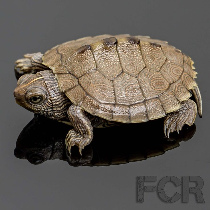 First Choice Reptiles - CB Baby Mississippi Map Turtle For Sale, $15.00 (http://www.firstchoicereptiles.com/cb-baby-mississippi-map-turtle-for-sale/)