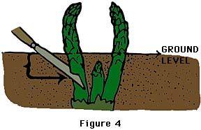 AsparagusGardens Ideas, Asparagus Growing, Growing Asparagus, Green Thumb, Asparagus Plants, Asparagus Spears, Asparagus Knife, Growing Guide, Gardens Asparagus