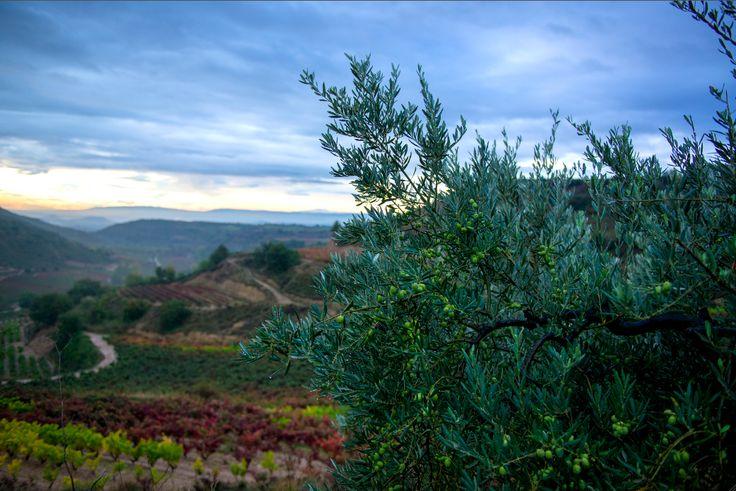 """Viñedos y olivos conviviendo... """"Aceite y vino, bálsamo divino"""""""