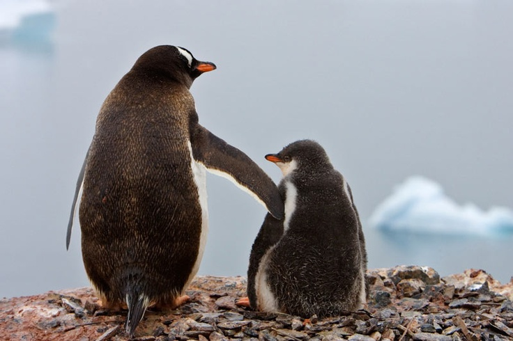 Gentoo Penguins by National Geographic