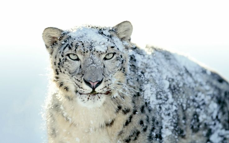snow leopardWhite Tigers, Big Cat,  Panthera Uncia, Snow Leopards, Blue Eye, Frrrantic, Leopards Wallpapers,  Ounce, Animal