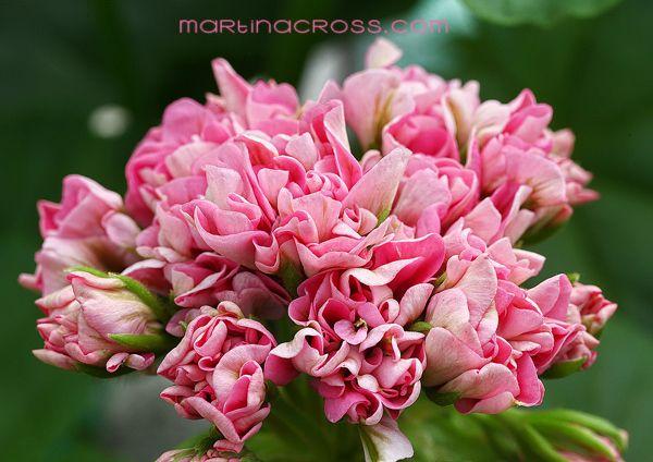 Pelargonie - Pelargonium Noel Gordon