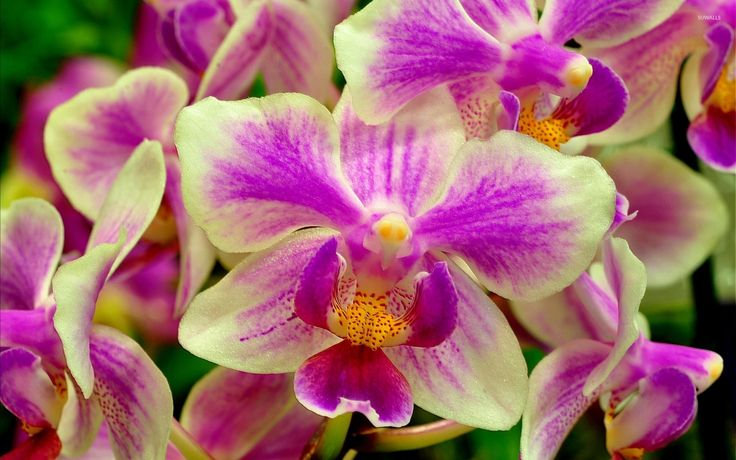 Orchid Flower image HD Wallpaper Stock Photos Free Download PIXHOME