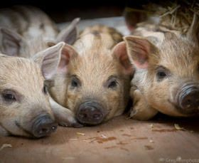 The Rare Breeds Centre at Woodchurch is enjoyed by many of our families. In addition to lots of lovely animals there is an indoor play centre, handy on those rainy days.
