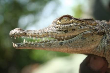 crocodile  http://www.afrizim.com/Activities/