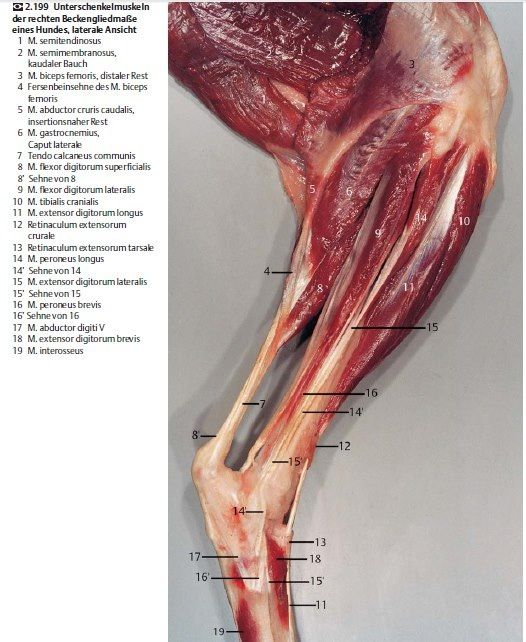 Equine. Muscles and tendons