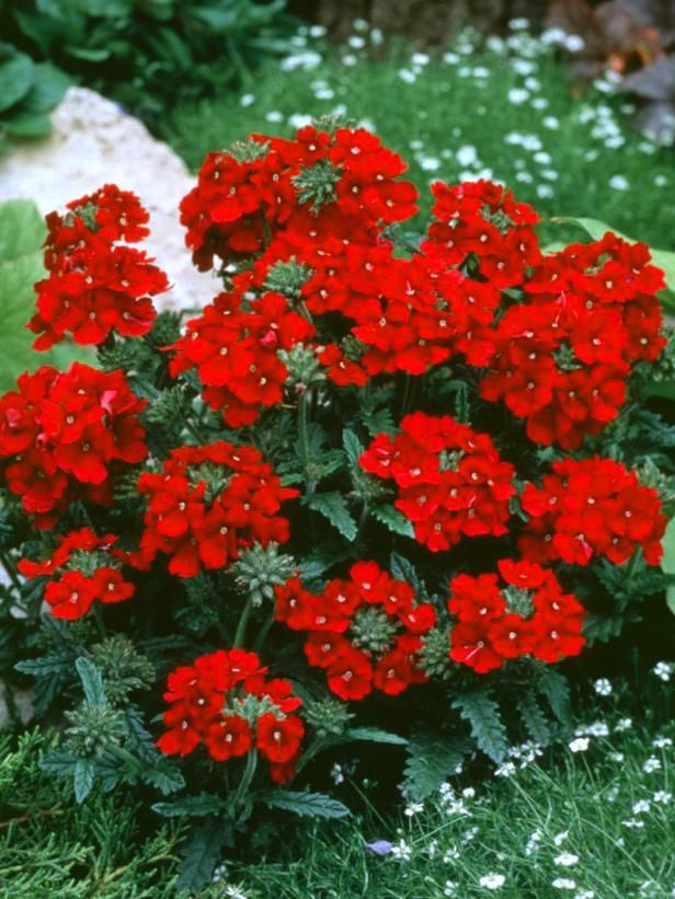 17 Low-Maintenance Plants and Dwarf Shrubs: This groundcover blooms profusely all season.    br    br    iVerbena x hybrida/i Quartz Rose    br    Annual trailing verbena grown as a groundcover that blooms profusely all season with bright pink flowers with a white eye