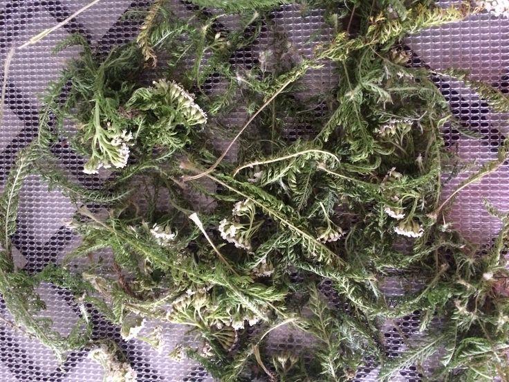 Drying wild foraged herbs yarrow
