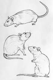 Znalezione obrazy dla zapytania tatuaż szczur
