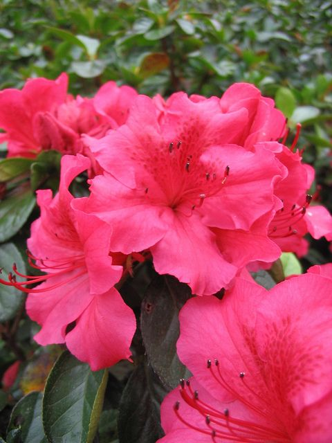 Over 100 photos of Azaleas. Evergreen, deciduous & re-blooming varieties. Many are routinely stocked in our store.