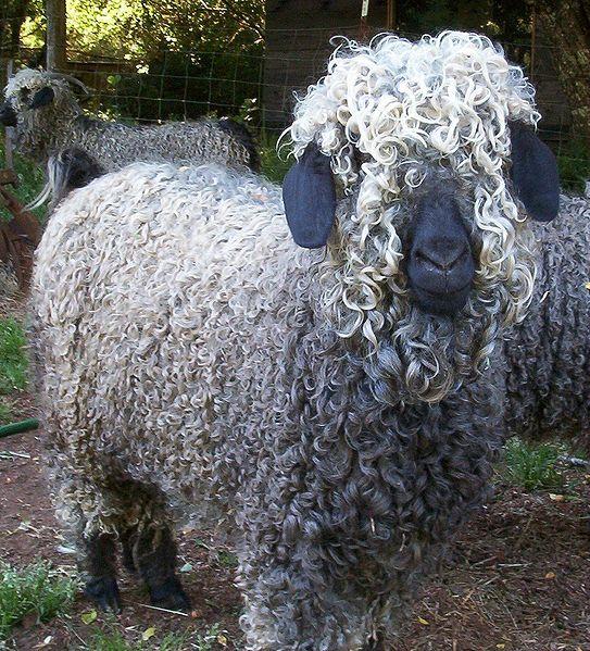 ✯ Angora Goat = Mohair :(