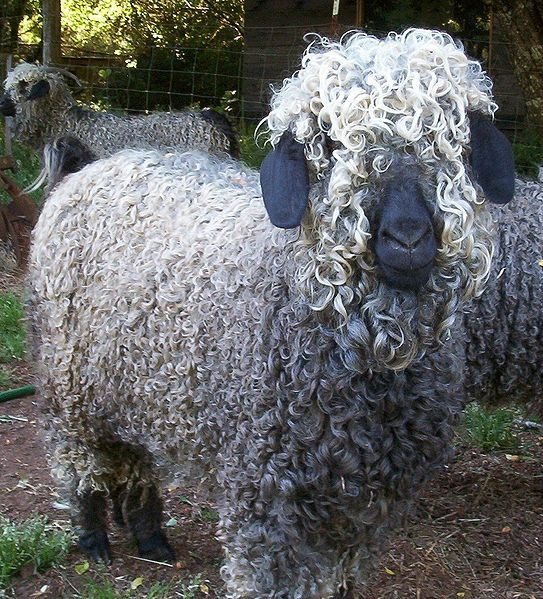 """Most awesome-looking goats - the """"rastafarian goats"""" we've been talking about actually turn out to be Angoras.  Perfect!  We both win!"""