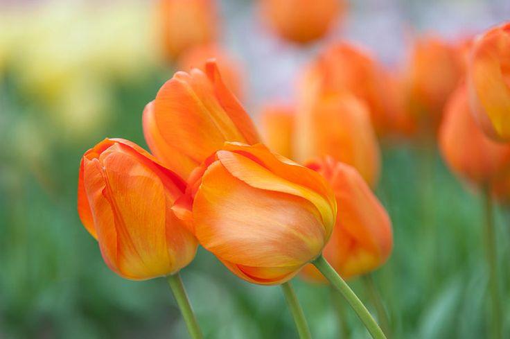 Dutch Orange Tulips  by Jenny Rainbow