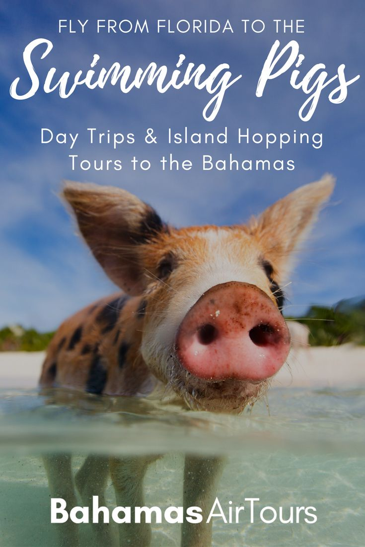 Bahamas Pigs: Flights to Bahamas, Day Trips and Multi-Day Tours to the Exuma Swimming Pigs. The ultimate Bahamas Vacation and top things to do in Bahamas. Our tours include flights, boat excursions, hotels. For the best Bahamas Honeymoon learn more about our Private flights and Tours to the best Bahamas beaches. The Exuma Bahamas  pigs live on Pig Beach at Big Major Cay. Put Bahamas Pigs on your Bucket List! You cant visit the Bahamas Pigs on your Bahamas Cruise in Bahamas Nassau, but you…