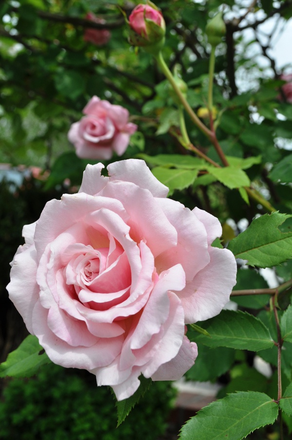 Belinda's Dream Rose- I have this rose and it is very hardy.