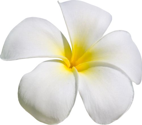 Temple Flower Clipart Pictures 43 Stunning Cliparts Tfcp