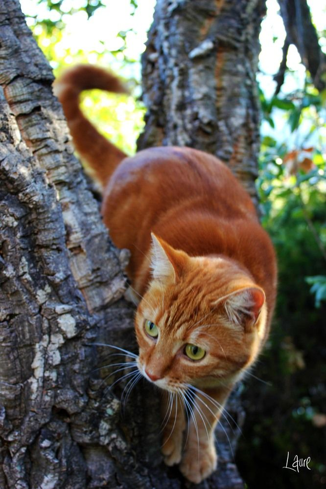 Ginger cat in a tree.