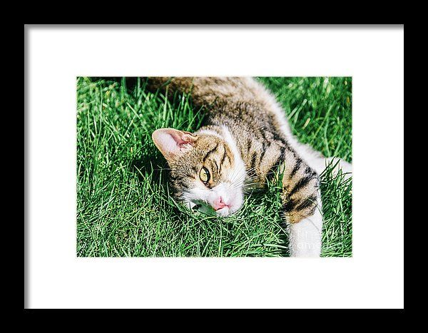 Portrait Of Cute Domestic Tabby Cat Playing In Grass Framed Print